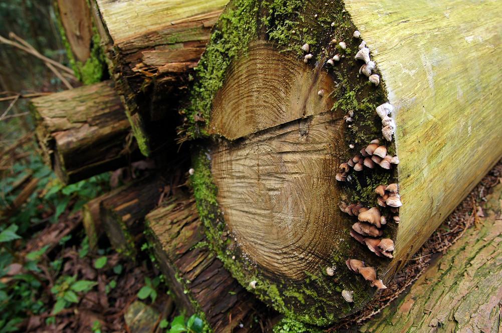 觀霧巨木步道-055
