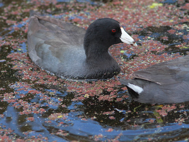 American Coot 20120318