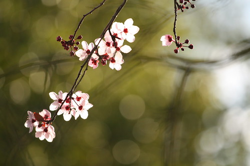 Plum Blossoms I