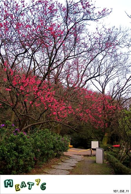 【遊記】陽明山國家公園|櫻花乍現在粉紅意境的花花世界24