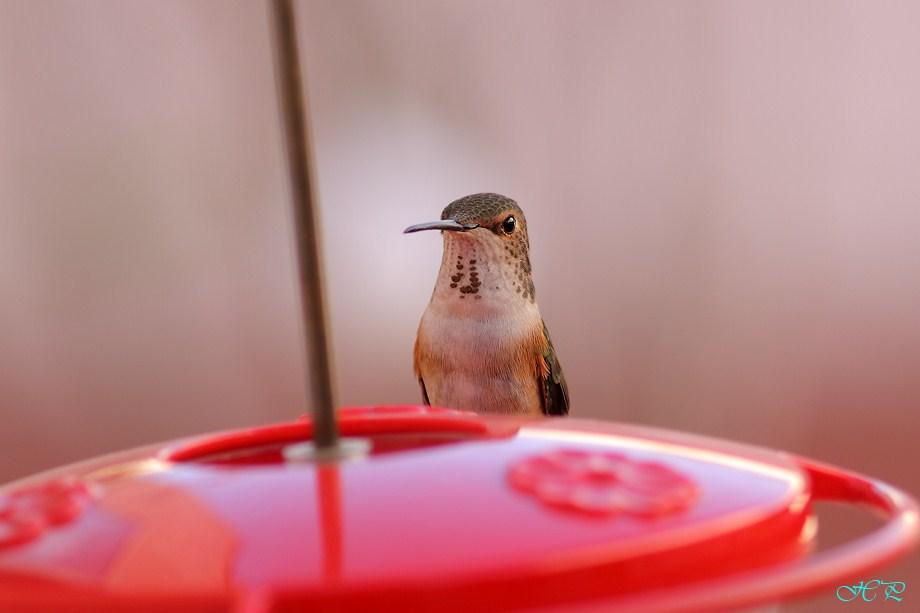 Allen's Hummingbird 021412-1