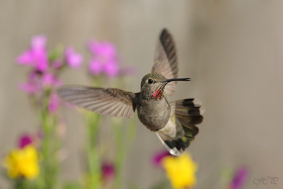 Anna's Hummingbird 021712-2