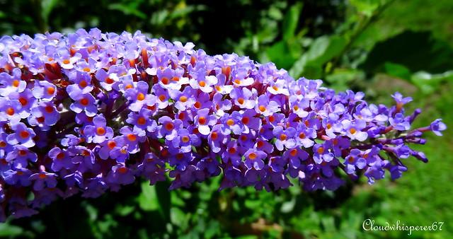 Indigo Blossom Quot Butterfly Bush Quot Buddleja Flickr