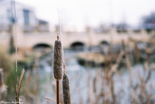 Cattails by Wayne-K
