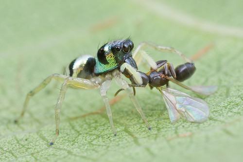 A tiny jumping spider with winged ant prey IMG_7573 copy