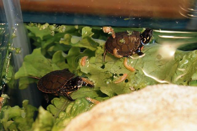 Baby_Midland_Painted_Turtle_Pet_Habitat_Aquarium Flickr - Photo ...