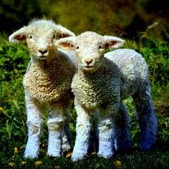 ✿ Lambs ✿