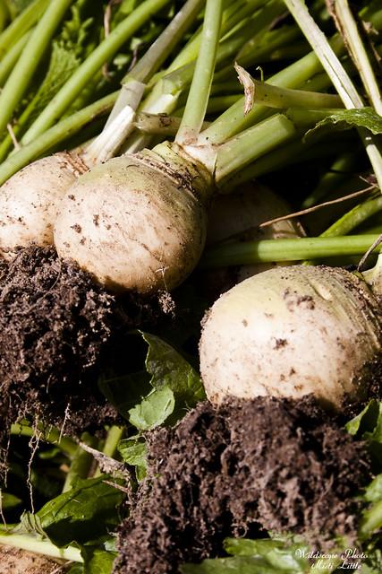 turnips4
