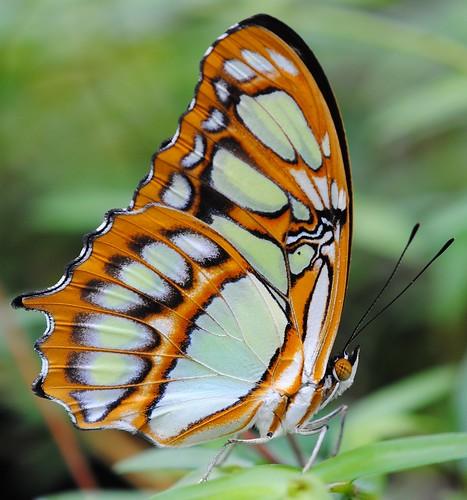 Butterfly (Malachitfalter - Siproeta Stelenes)