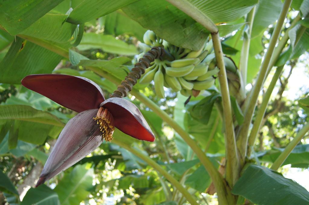 Bananas, Las Terrazas