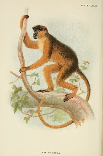 024-Guereza aullador-A hand-book  to the primates-Volume 2-1896- Henry Ogg Forbes