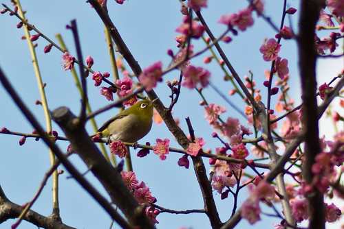 White Eye in Plum blossoms