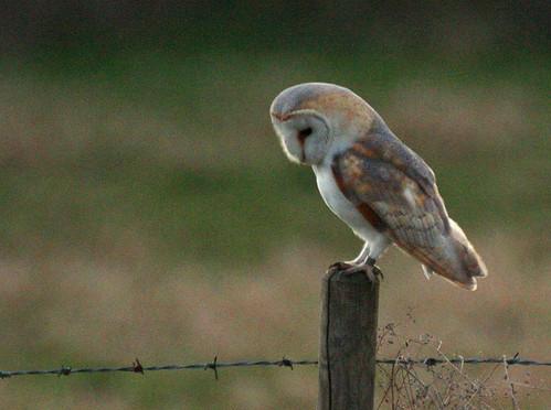 barn-owl-c-07.03.12