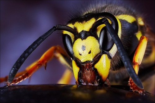 Hungry wasp - Vespula germanica