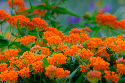 Butterfly Weed_DSC_4302.jpg