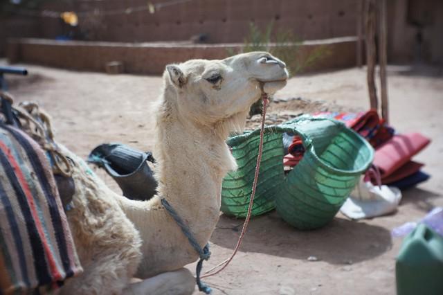 Camel, M'hamid