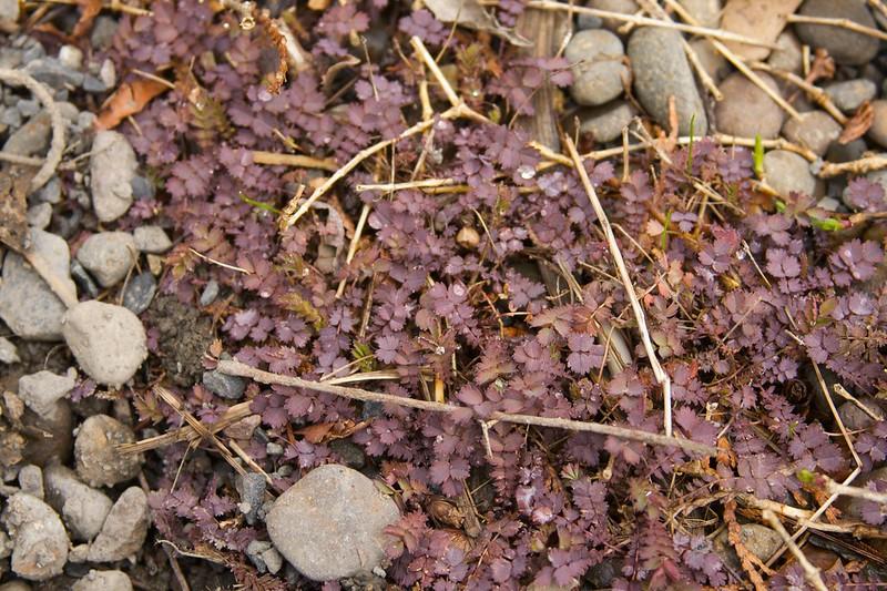 acaena inermis purpurea  1479