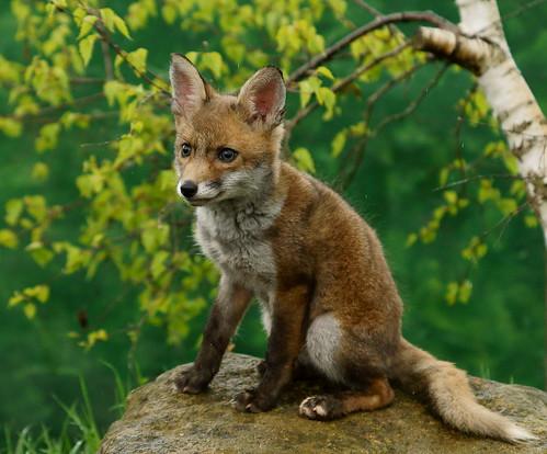 [フリー画像素材] 動物 1, 狐・キツネ ID:201204261000
