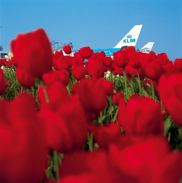 KLM tulips 1