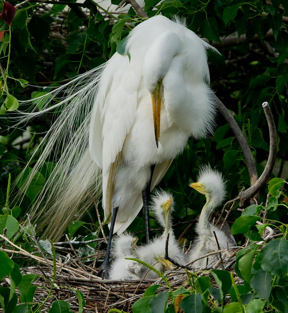 Great White Egret and Brood
