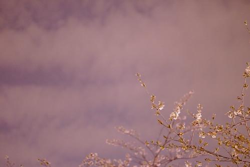 sakura sky