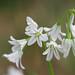 wild flowers ( whitebells )