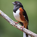 eastern towhee by tapervern