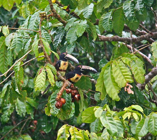 Keel-billed Toucans 02