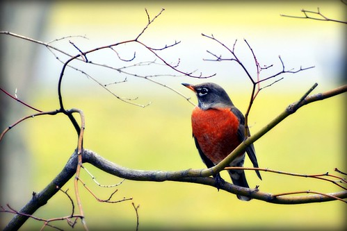 Sure sign of Spring - Robin - Bird by blmiers2