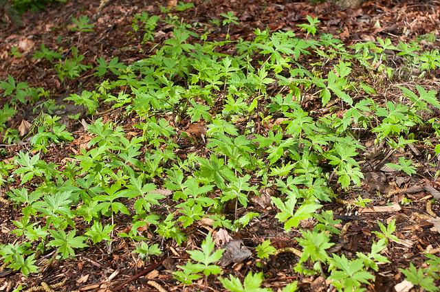 Pacific Waterleaf (Hydrophyllum tenuipes)