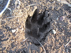 Dog or Coyote Track