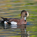 a 'coppery' American Wigeon