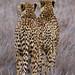 Cheetah Lewa Kenya 11