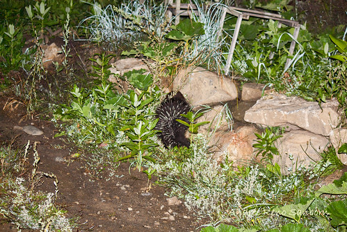 Porcupine at Night  -5.jpg