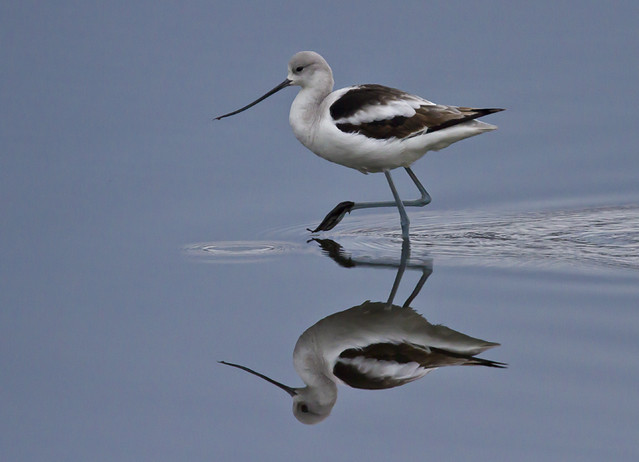 Avocet march
