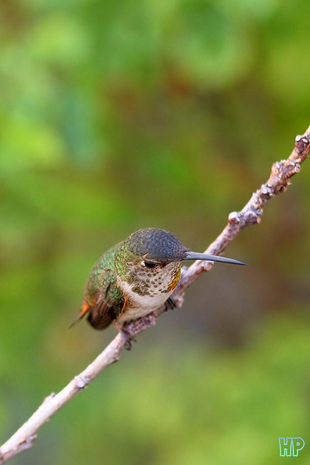 Allen's Hummingbird 021112
