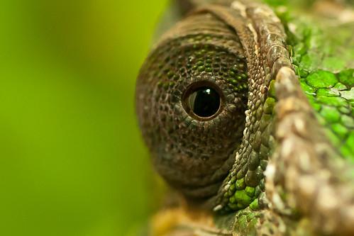 無料写真素材, 動物 , 爬虫類, カメレオン, 緑色・グリーン