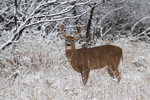 Snow Buck.  Photo © Flickr user: Jim Cumming .
