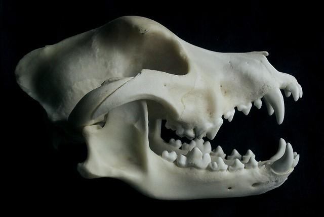 Staffy skull   Staffordshire Bull Terrier skull. This is wha ...