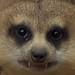Meerkat Fangs