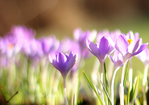 CROCUSES IN THE SUN