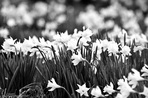 Daffodil Sea Without Color