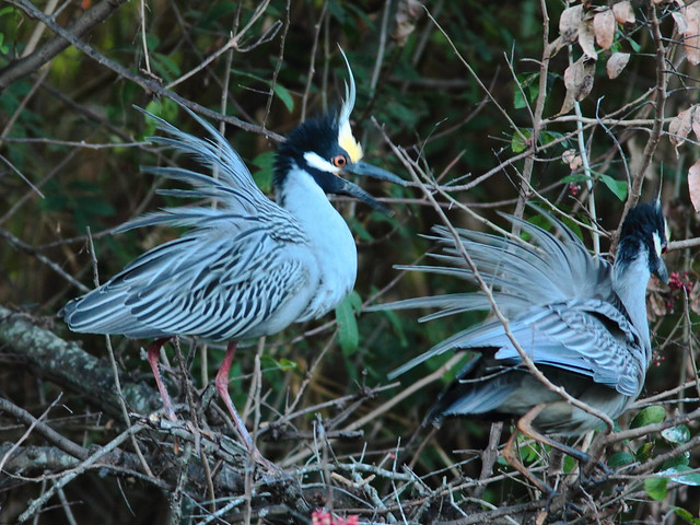 Yellow-crowned Night Heron pair displaying 4-20120304