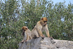021. Barbary Apes. Top of Rock.  March 2012