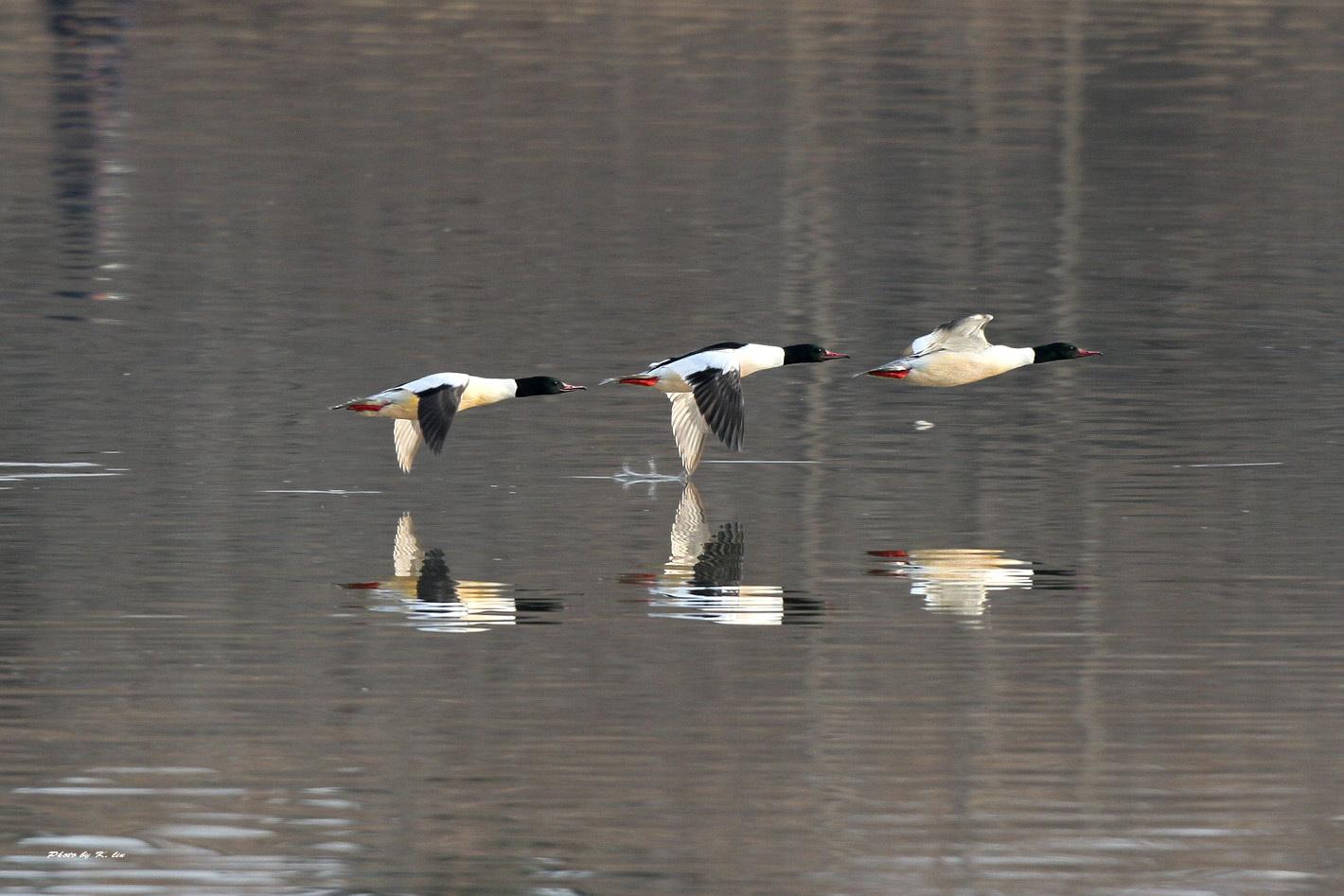 川秋沙 Common Merganser (雄成鳥)