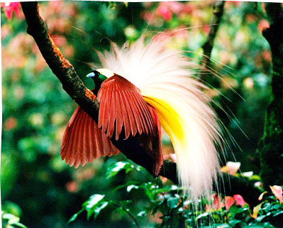 The Cendrawasih Birds Of Paradise The Travel Junkie