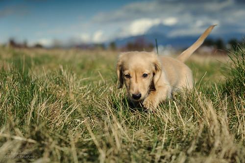 dog chien puppy canine dachshund doggy pup sherman daschund k9 purebred 70200mmf28