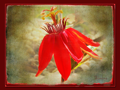 red flower macro texture nature photoshop garden digitalart vine frame passion passiflora passiflore lenabemanna