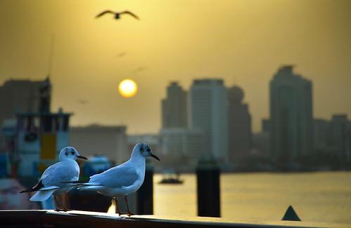 sunset bird creek sunrise nikon dubai gull ngc kuwait 18105 دبي نورس خور flickraward d7000 flickrtravelaward