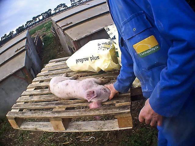 East Anglian Pig Company - Norfolk